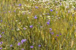 Fasce di fiori nel grano e  le colture hanno meno bisogno di pesticidi