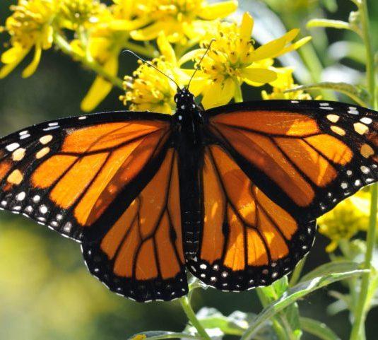 Il declino della farfalla monarca ed il clima