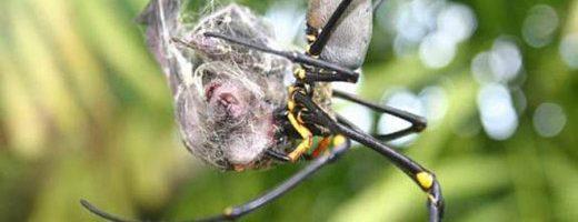 Spiderman Vs Batman… I pipistrelli predati dai ragni.