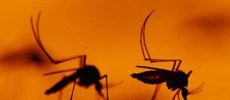 Quando l'insetto è OGM