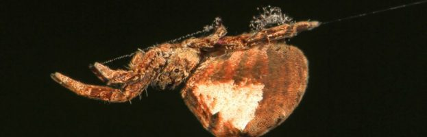 Il ragno che trasforma la sua tela in una fionda, per gettarsi sulla preda