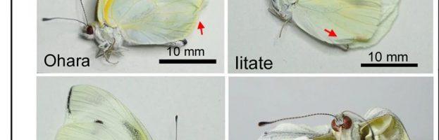 Effetti dell'ingestione del Cesio radiottivo di Fukushima sulla Pieris rapae (cavolaia minore)