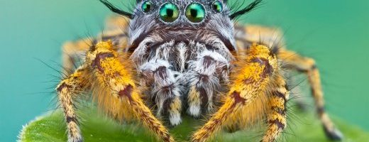 Il ragno vegetariano