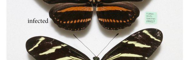 Un infezione influenza il colore delle farfalle