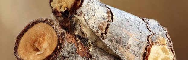Meraviglie dell'evoluzione: La falena rametto – Video