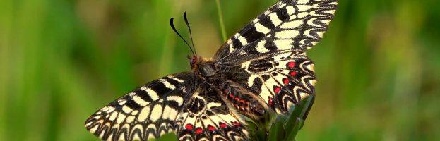 E siamo a otto… farfalle nate