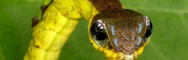 Meraviglie dell'evoluzione: Il bruco serpente – Video