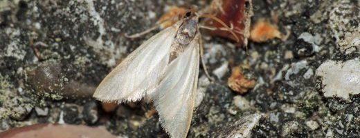 I nostri insetti particolari – Acentria ephemerella