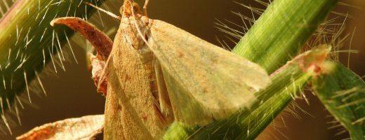 Aggiornamento del sito falena – 296 – Achyra nudalis – Crambidae