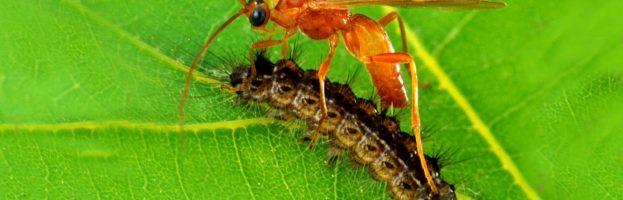 Le vespe genetiste