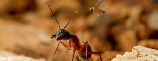 La mosca cacciatrice di teste e il ritorno delle formiche zombie