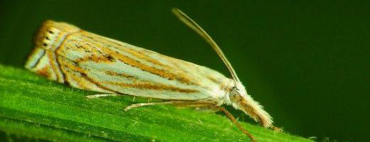 Aggiornamento del sito falena – 295 – Crambus lathoniellus – Crambidae