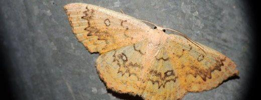 Aggiornamento sito – Falena 302 – Cyclophora annularia