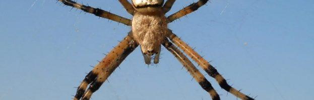 Rapida diffusione del ragno vespa (Argiope bruennichi) in tutta Europa