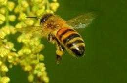 """Anche le api fanno il """"brevetto di volo"""" – Video"""