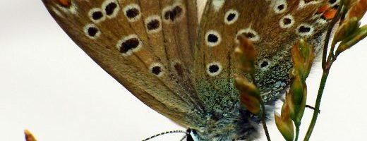 Ai bruchi delle farfalle (Lycaenidae) non serve lo yogurt