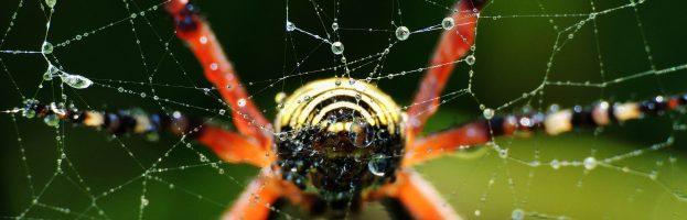 Ancora sul ragno vespa (Argiope bruennichi)