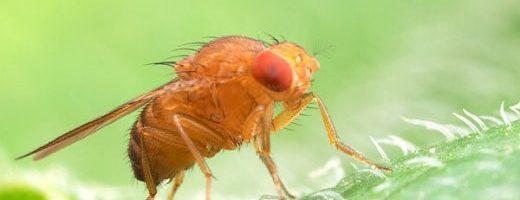 Un moscerino della frutta ovoviviparo