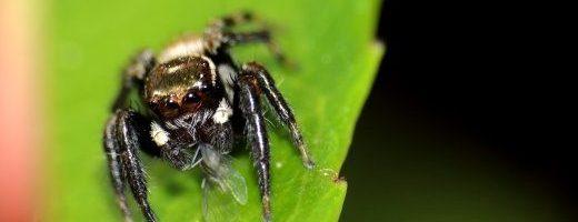 Ma come fa il ragno saltatore a calcolare la distanza?