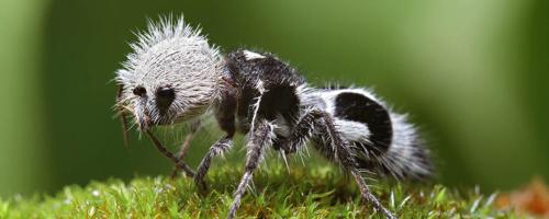 Meraviglie dell'evoluzione: La formica panda