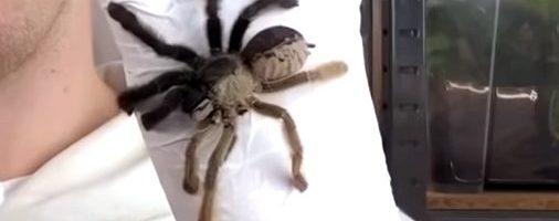 Il ginandromorfismo in un ragno – VIDEO