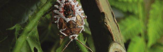 Gli insetti zombie sono più diffusi di quanto si creda.