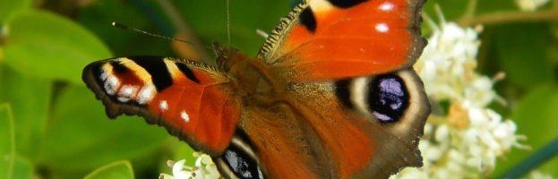 Valutazione della potenziale esposizione delle farfalle al polline di mais geneticamente modificato nelle aree protette in Italia