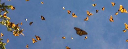 Farfalla Monarca, in ritardo e forte diminuzione