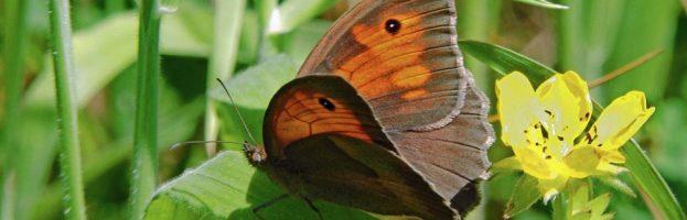 Ciò che prolunga la vita di una farfalla