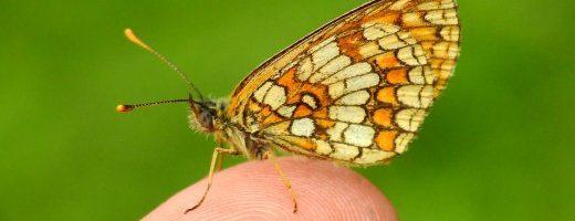 Farfalle e il loro contributo nell'ecosistema: una revisione