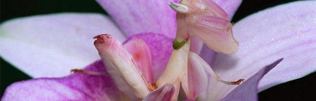 Meraviglie dell'evoluzione – La mantide orchidea – Buon compleanno Blog
