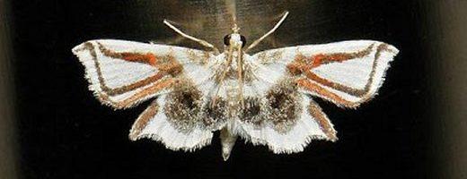 La falena ragno