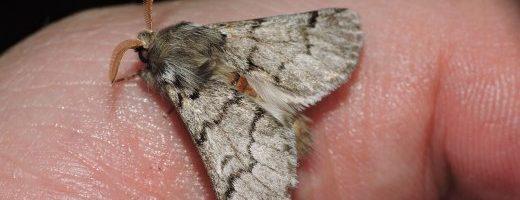 I nostri insetti particolari – Thaumetopoea pityocampa
