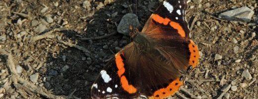 Le farfalle del basso Tagliamento