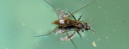 Perché alcuni insetti camminano sull'acqua?