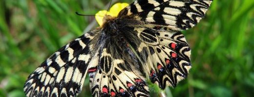 I nostri insetti particolari – Zerynthia polyxena
