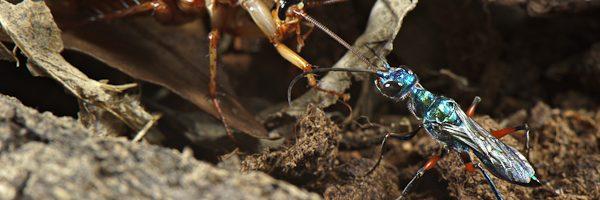 Le vespe che tramutano gli scarafaggi in zombie: Ampulex compressa – Video