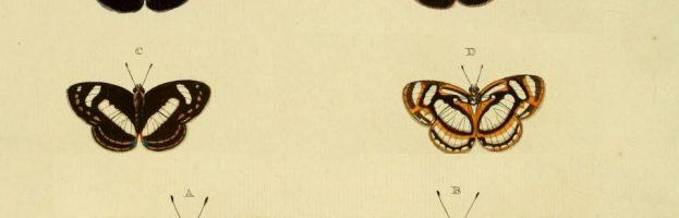 Bruchi canterini, formiche e simbiosi