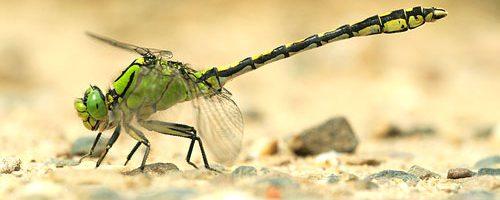 Le libellule (Insecta: Odonata) di interesse comunitario in Piemonte