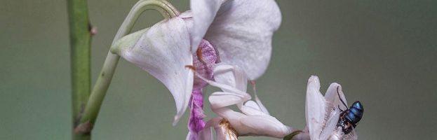 Meraviglie dell'evoluzione: La mantide orchidea – Video