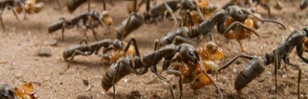 I paramedici delle formiche africane