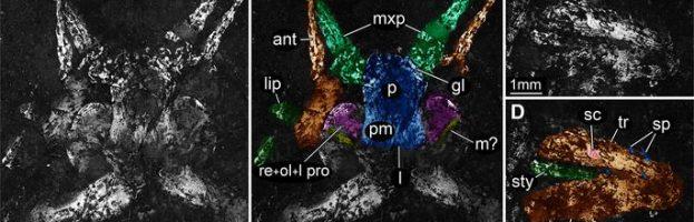 La teoria degli equilibri punteggiati confermata da un insetto del Triassico