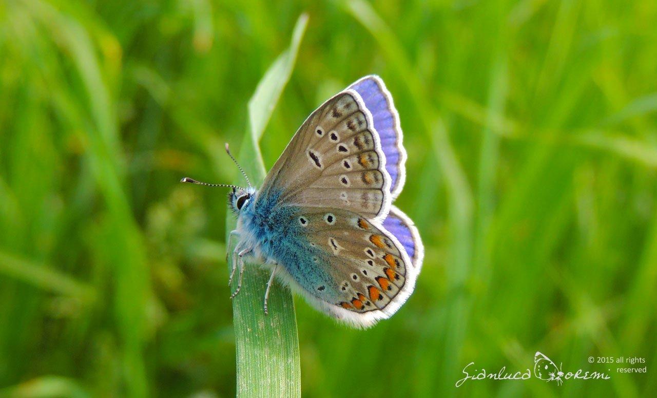 farfalla del sito