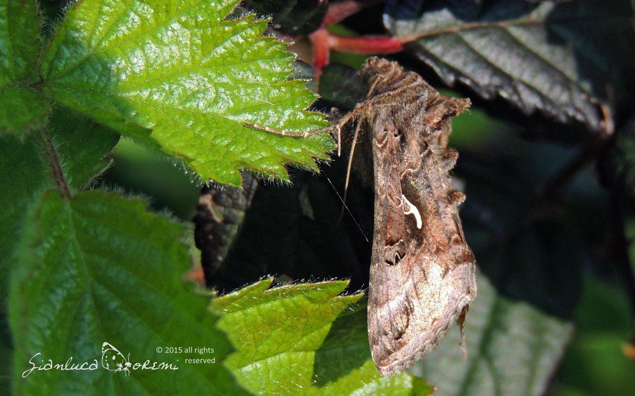 L'incredibile volo dei lepidotteri notturni (Autographa gamma)